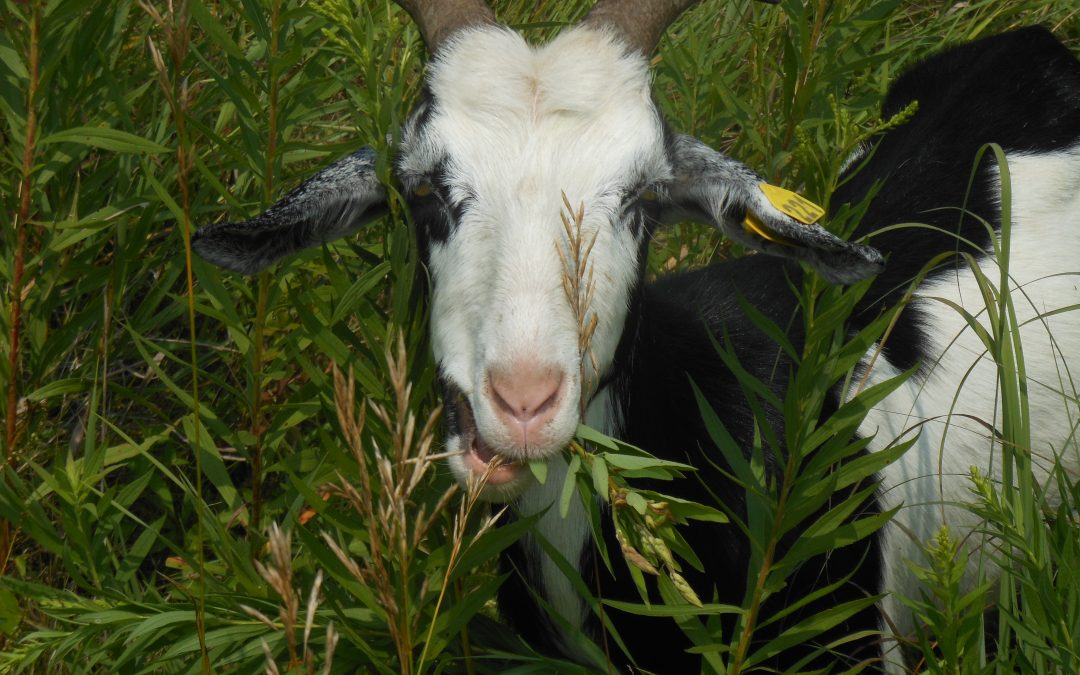Goats in the forest: A different kind of land management