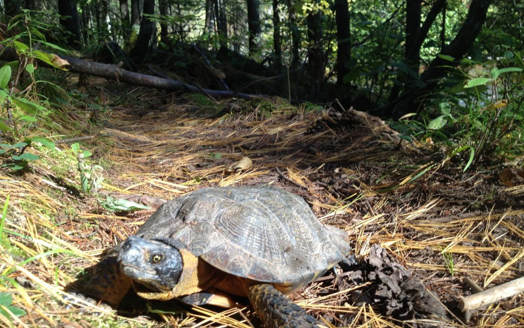 Protecting the state's wood turtles, one garden at a time