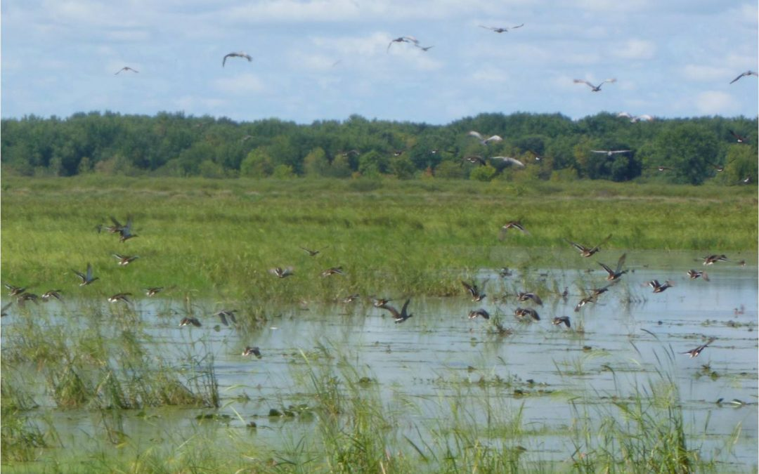 Restoring wild rice for waterfowl in the Mead Wildlife Area