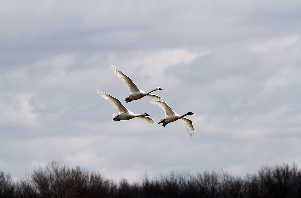 Our Wisconsin Tundra Swan Connection