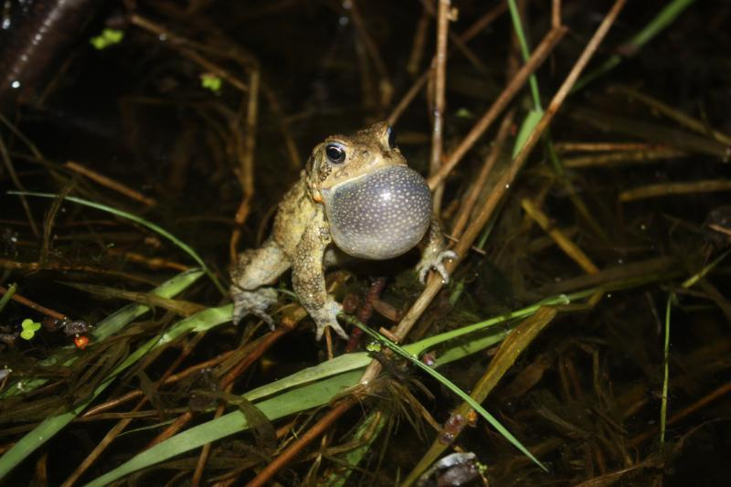 Listening for Frogs: Volunteers lend an ear for the Frog and Toad Survey