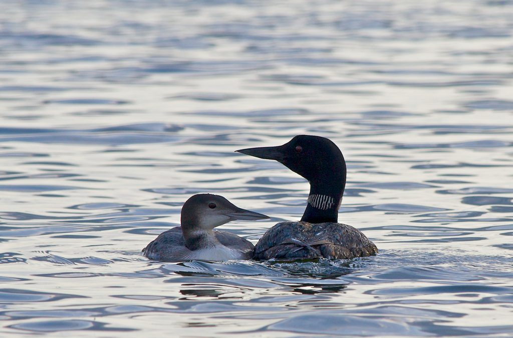 Long-term study to assess recovery of Wisconsin loons from mercury and lead exposure