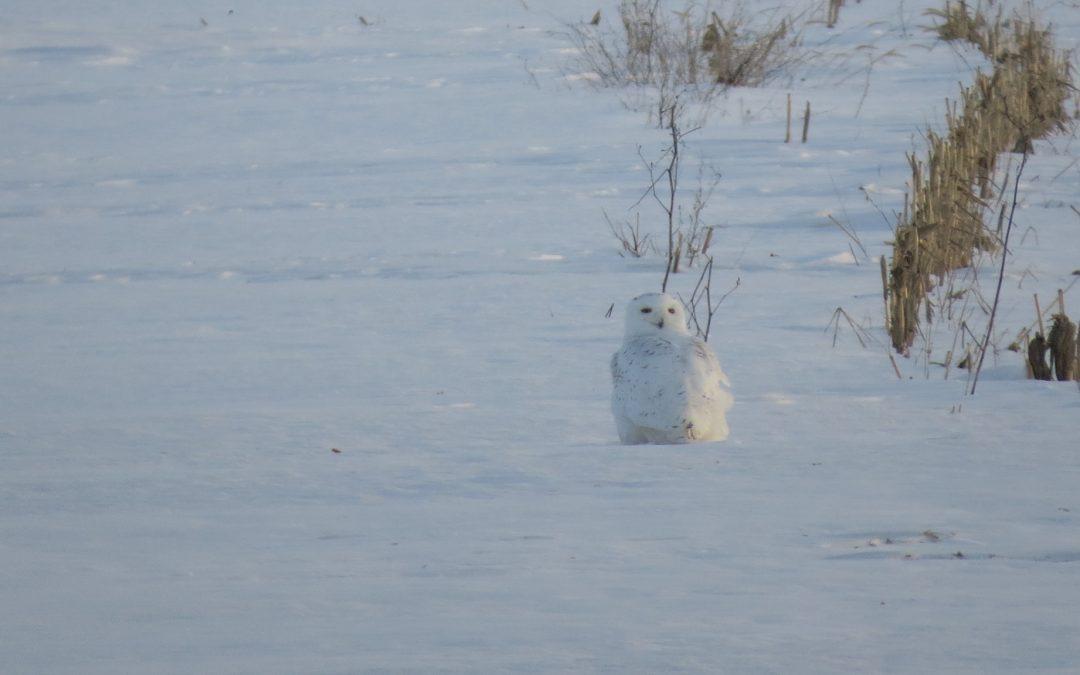 Help Track Snowy Owls!