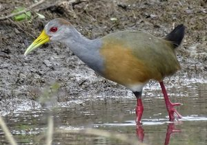 Grey-necked Wood Rail Crooked Tree Lagoon Belize. conservation tourism with the natural resources foundation.