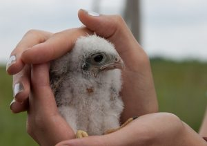 Kestrel Banding Field Trip. Photo by Nathan Dallesasse
