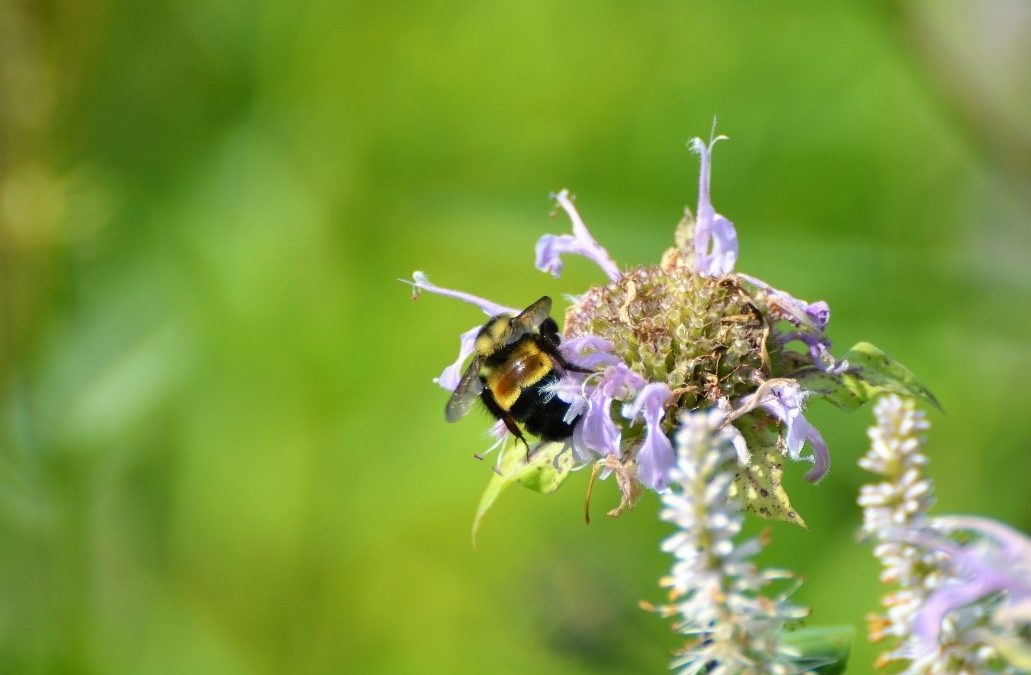 Saving the Endangered Rusty Patched Bumble Bee