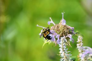 Rusty patched bumble bee. Photo by Jay Watson, WDNR.