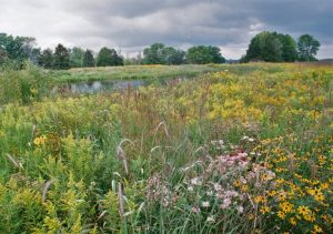 Spring Flowers at Western Great Lakes Bird and Bat Observatory. Photo by Bill Mueller.