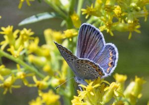 Karner Blue Butterfly. Photo by B Bartel.
