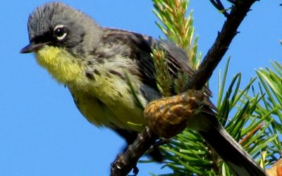 Kirtland's Warbler Recovery, Ongoing Efforts