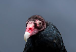 Turkey Vulture. Photo by Tom Lally