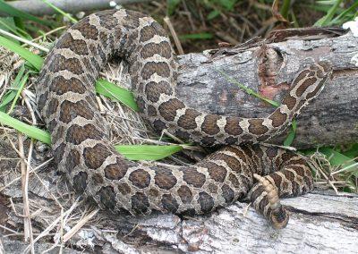 Eastern Massasauga Rattle Snake