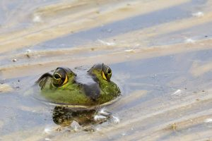Photo of green frog peaking up out of the water. Photo taken by Bruce Bartel