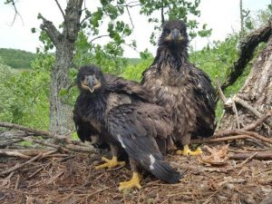 Photo of two eaglets in their nest. Taken during eagle banding Field Trip. Photo by Dan Goltz