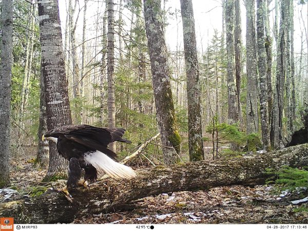 A bald eagle lands in front of one of our cameras on Madeline Island.
