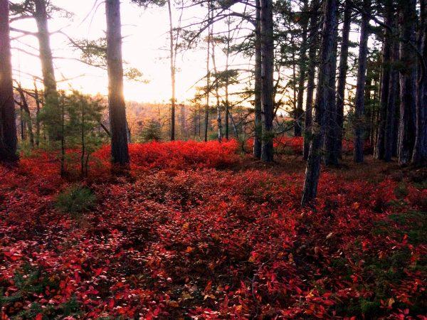 Crimson autumn foliage from wild blueberry on Madeline Island. Photo captured by wildlife camera.