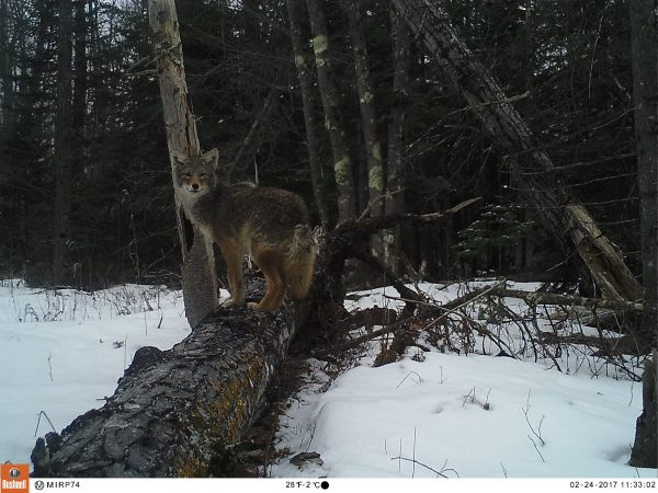 A coyote poses on a fallen tree. Photo captured by wildlife camera on Madeline Island.