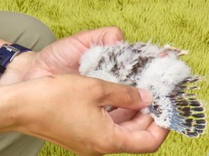 Female kestrels, like this chick, have brown primary feathers.