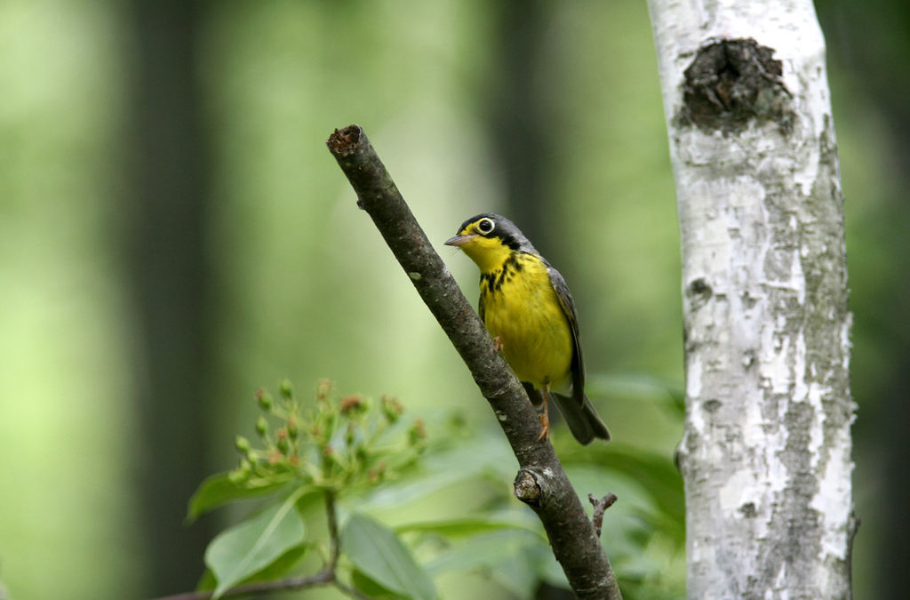 Hundreds of 'Birdathonners' Raise Funds for Bird Conservation Efforts in Wisconsin