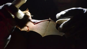 Bats wing is studied by a researcher.