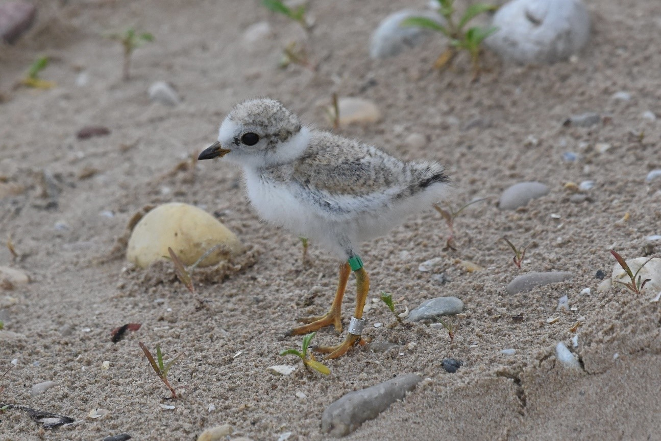 Piping Plover in its natural habitat.