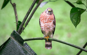 Broad-winged Hawk in tree