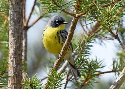 Kirtland's warbler by Joel Trick