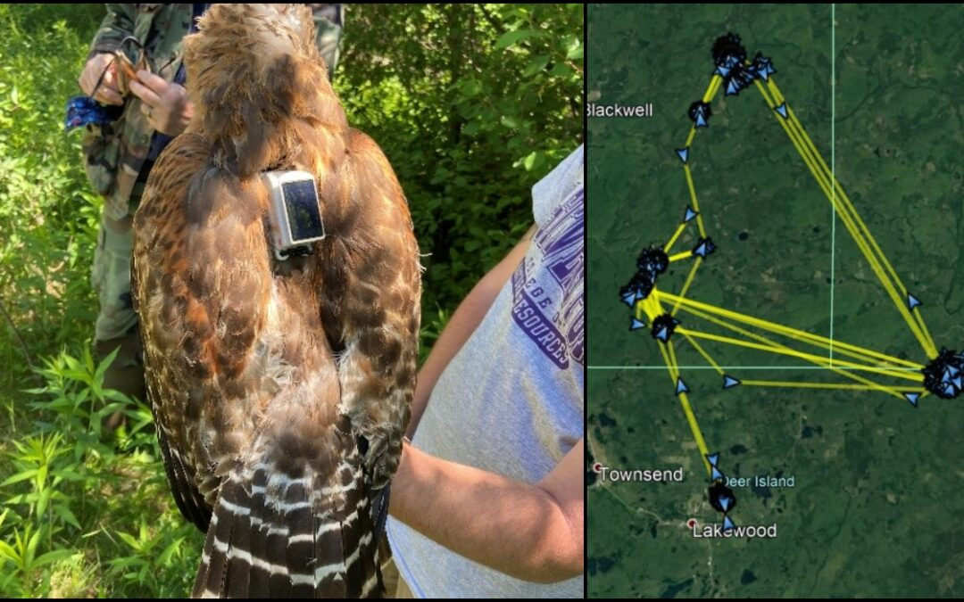 Tracking the Phantoms: A Red-shouldered Hawk Telemetry Study