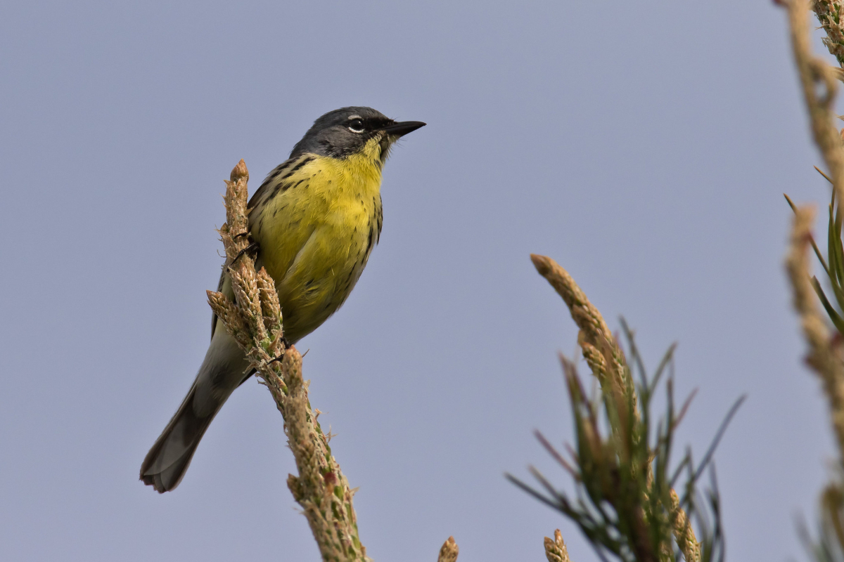 A Kirtland's warbler perches at the top of a jack pine