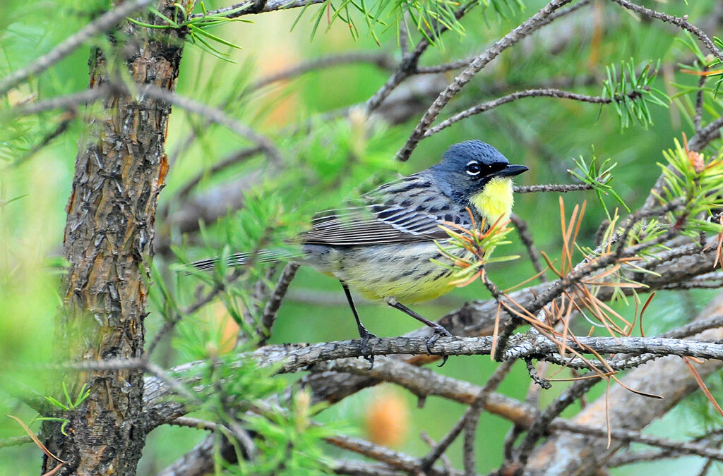 A Kirtland's warbler perches in jack pine