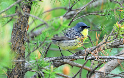 The Kirtland's warbler is here to stay