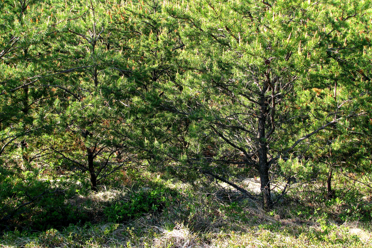 Young jack pine trees